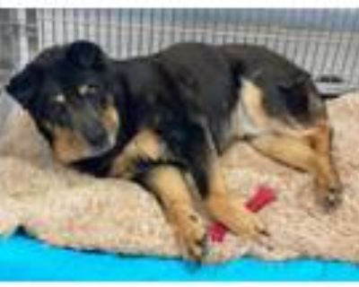 Adopt PICASSO a Chow Chow, German Shepherd Dog