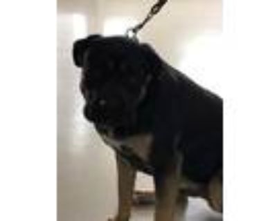 Adopt MR. TACO a Black - with Tan, Yellow or Fawn Cane Corso / Rottweiler /
