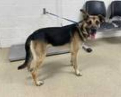 Adopt Max a Black German Shepherd Dog / Mixed dog in Fort Worth, TX (31527812)