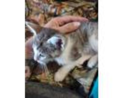 Adopt Abbie a White (Mostly) American Shorthair / Mixed (short coat) cat in