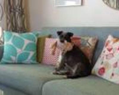 Adopt Penny Bella a Black - with Tan, Yellow or Fawn Terrier (Unknown Type