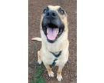 Adopt Flynn* a Tan/Yellow/Fawn Shepherd (Unknown Type) / Mixed dog in Anderson