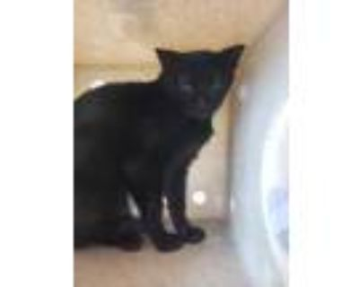 Adopt Barn Cat Wicked Step Mother a All Black Domestic Mediumhair / Domestic