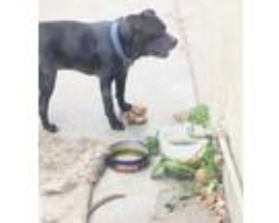 Adopt Chewy a Black Mastiff / Mixed dog in Beverly Hills, CA (31219542)