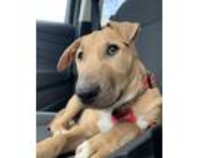 Adopt Flynn a Tan/Yellow/Fawn - with White Bull Terrier / Beagle / Mixed dog in