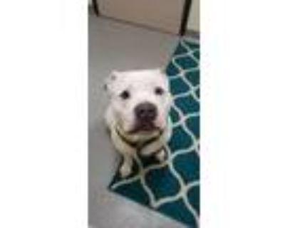 Prince Lucas, American Pit Bull Terrier For Adoption In Williamsburg, Virginia