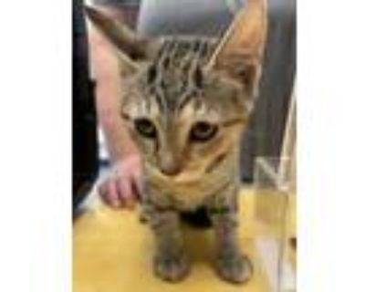 Adopt Tiny a Domestic Shorthair / Mixed cat in Golden, CO (32054635)