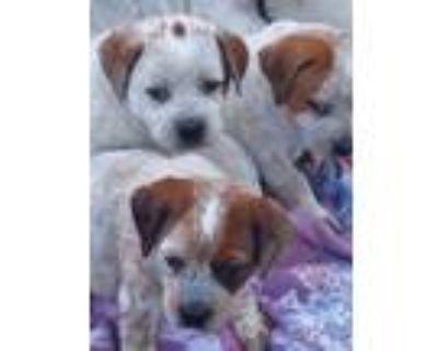 Adopt Heeler Pups a Australian Cattle Dog / Blue Heeler, Boxer