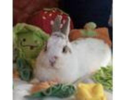 Adopt BonBon Dwarf a White Netherland Dwarf / Mixed (short coat) rabbit in Los
