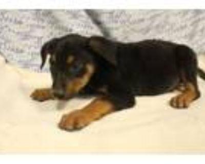 Adopt A553707 a Doberman Pinscher, Mixed Breed