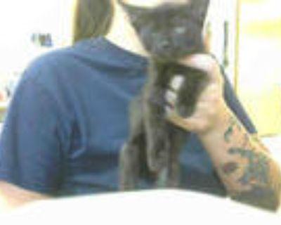 Adopt RABBIT a All Black Domestic Shorthair / Mixed (short coat) cat in Atlanta