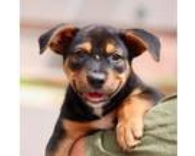Adopt Solo a Black - with Brown, Red, Golden, Orange or Chestnut Shepherd