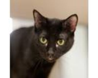 Adopt Lucas a Domestic Shorthair / Mixed cat in Houston, TX (32143298)