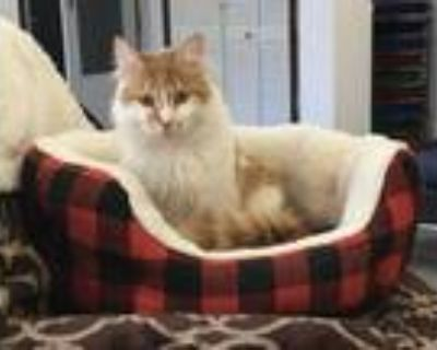Adopt Oliver a Orange or Red (Mostly) Domestic Mediumhair (medium coat) cat in