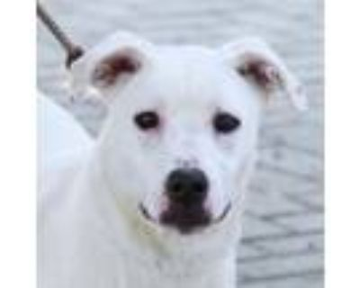 Adopt Atlas a Labrador Retriever, Mixed Breed
