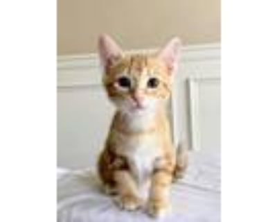 Adopt Rollie Kitten a Orange or Red (Mostly) Domestic Shorthair / Mixed (short