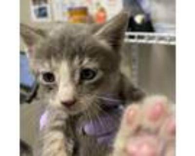 Adopt Athos a Gray or Blue Domestic Shorthair cat in Yuma, AZ (31256275)