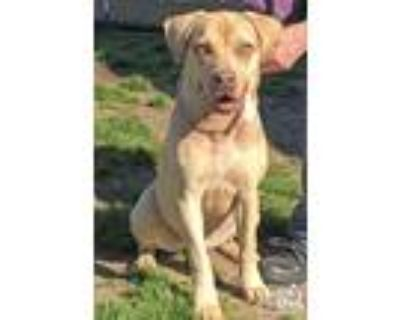 Adopt Goldie a Shepherd (Unknown Type) / Retriever (Unknown Type) / Mixed dog in