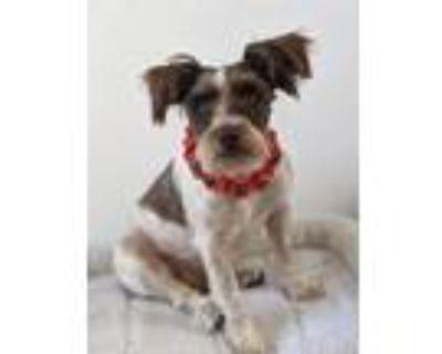 Adopt Scooter a Standard Schnauzer / Mixed dog in Phelan, CA (31628714)