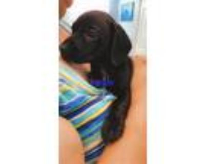 Adopt Lupie a Black Dachshund / Mixed Breed (Small) / Mixed dog in Rowland