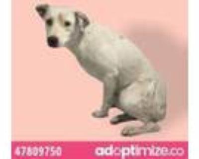Adopt 47809750 a Australian Cattle Dog / Blue Heeler, Labrador Retriever