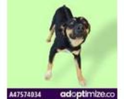 Adopt 47574034 a Black Shepherd (Unknown Type) / Mixed dog in El Paso