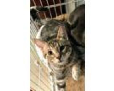Adopt Odin a Gray, Blue or Silver Tabby Domestic Shorthair / Mixed (short coat)