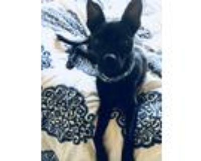 Adopt Stella the Pugador a Black Pug / Labrador Retriever / Mixed dog in