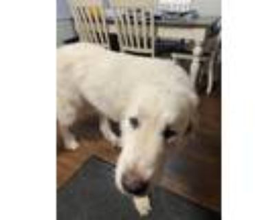 Adopt Avalanche a White Great Pyrenees / Great Pyrenees / Mixed dog in