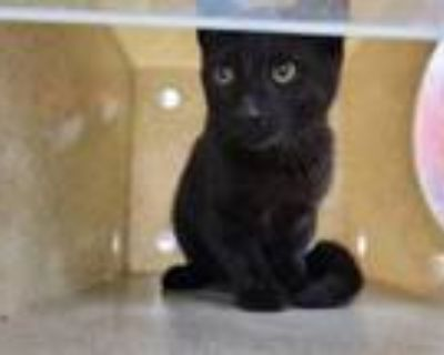 Adopt ROCKY ROAD a Domestic Short Hair