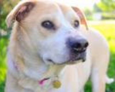 Adopt MAGGIE a Tan/Yellow/Fawn Labrador Retriever / Mixed dog in Denver