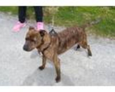 Adopt Bobbi Jo a Terrier, Hound