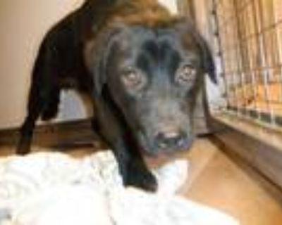 Adopt a Black Labrador Retriever / Mixed dog in San Jose, CA (31690544)