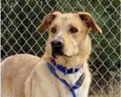 Adopt JUNIOR a Australian Cattle Dog / Blue Heeler, Labrador Retriever