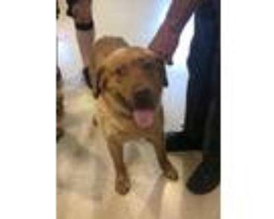 Adopt Frank a Red/Golden/Orange/Chestnut Retriever (Unknown Type) / Mixed dog in