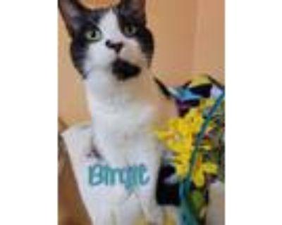 Adopt Birgit a Domestic Shorthair / Mixed (short coat) cat in Port Clinton