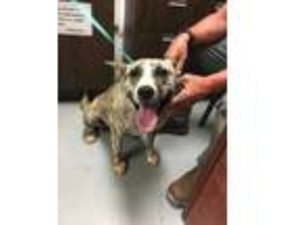 Adopt 48012666 a Tan/Yellow/Fawn American Pit Bull Terrier / Mixed dog in Los