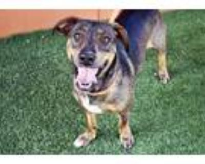 Adopt ADOPTION PENDING-Charlie a Brown/Chocolate Mixed Breed (Large) / Mixed dog