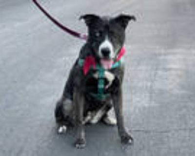 Adopt ELSA a Black - with Gray or Silver Husky / American Pit Bull Terrier /