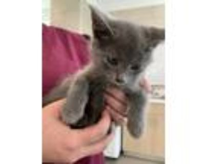 Adopt Kitten 1 a Gray or Blue Domestic Shorthair / Domestic Shorthair / Mixed