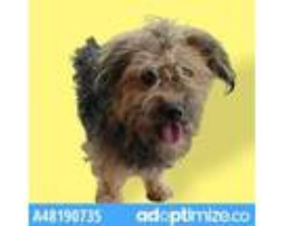 Adopt 48190735 a Yorkshire Terrier, Mixed Breed