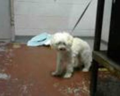 Adopt MARY a Poodle