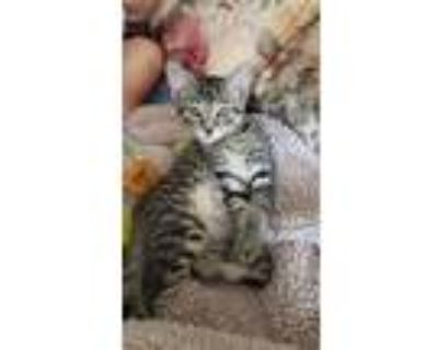 Adopt Milo a Gray, Blue or Silver Tabby Domestic Shorthair / Mixed (short coat)