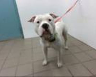 Adopt CHAINZ a Staffordshire Bull Terrier, Mixed Breed