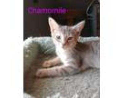 Adopt Chamomile a Domestic Short Hair