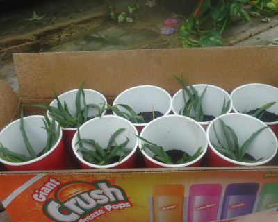 SOLID GREEN BABY S PIDER PLANTS