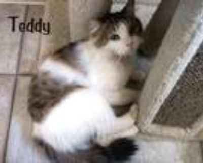 Adopt Teddy a Brown Tabby Maine Coon (long coat) cat in Sherman Oaks