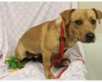 Adopt A552594 a Cardigan Welsh Corgi, Mixed Breed