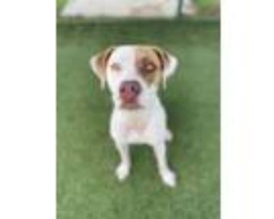 Adopt Felicia a Pointer, Labrador Retriever