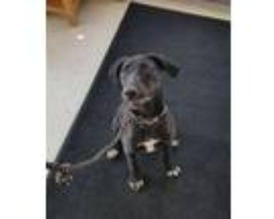 Adopt Nova a Black Labrador Retriever, Mixed Breed